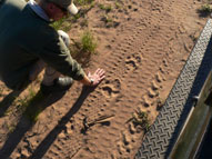 Lion tracks Lalibela Game Reserve Eastern Cape South Africa